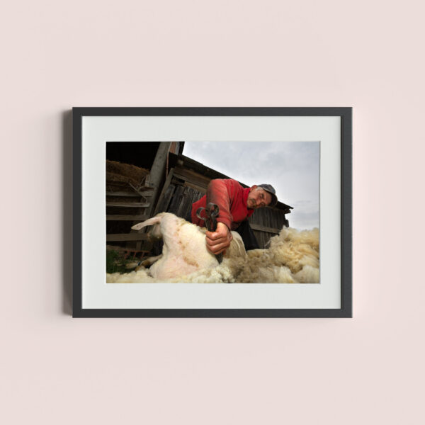 CRNA BARA, SERBIA - May 3, 2014: A shepherd collects wool in the small village of Crna Bara, western Serbia.